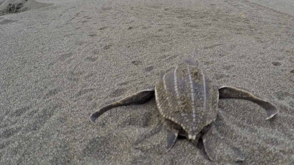 Leatherback sea turtle hatchling going home.